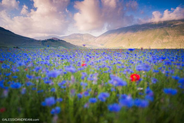 Fioritura Castelluccio di Norcia - Blooming in Castelluccio